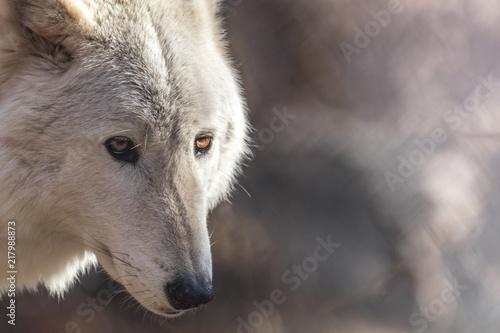 Canvas Prints Wolf White Arctic wolf (Canis lupus arctosportrait) has beautiful golden eyes
