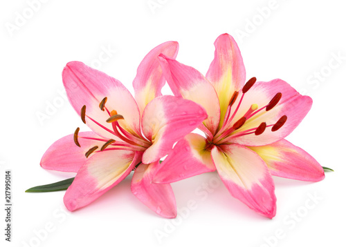 Pink lily isolated.