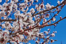 Branches Of A Blossoming Fruit Tree With Large Beautiful Buds Against A Bright Blue Sky  Cherry Or Apple Blossom In Spring Season. Beautiful Flowering Fruit Trees. Natural  Background.