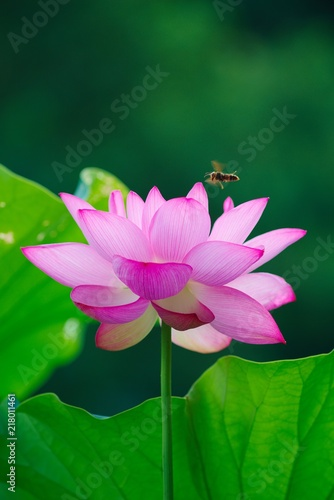 Foto op Canvas Lotusbloem Ancient Lotus blooms in the morning