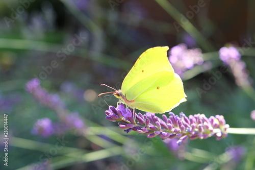 Żółty motyl na lawendowej gałązce - 218014447