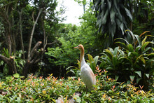 Cattle Egret (Bubulcus Ibis) On Green Background On Plain Natural Background, White Medium Sized Bird.