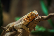 Common Bearded Dragon (Pogona Barbata) On Wood