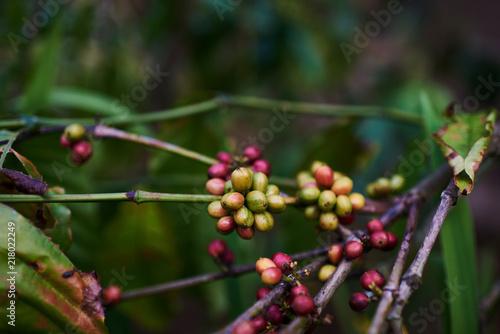 Raw Green Coffee Beans On Tree In Coffee Plantation Coffee Plants