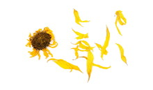 Dry Sunflower Petals Isolated ...