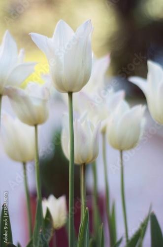 Obrazy w różnych kolorach white-flowers-beautiful-flowering-tulips-in-the-garden-selective-focus