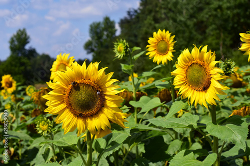 Słoneczniki, pole słonecznika, uprawa słonecznika
