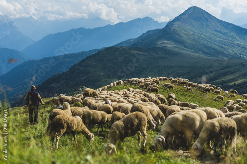 Cadres-photo bureau Sheep Sheep herd on a green pasture in Dolomiti mountains. Sunset light, shepherd with his sheep on pasture with high mountains in background.