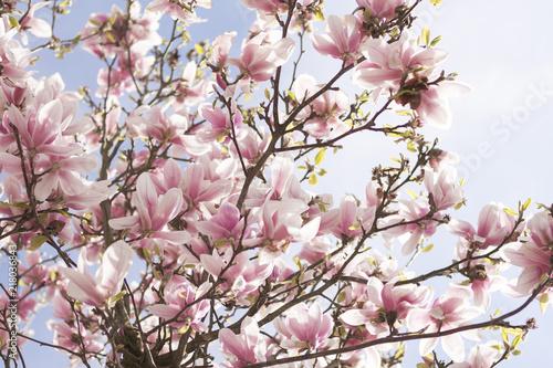 Deurstickers Magnolia Blooming magnolia in spring time