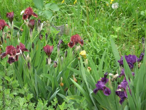 Spoed Foto op Canvas Iris Colorful irises in the garden, perennial garden. Gardening. Bearded iris Group of purple irises in the Ukrainian Garden.
