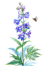 Blue Delphinium And Bee, Watercolor Drawing On White Background, Isolated With Clipping Path.