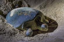 Green Turtles At Ras Al Jinz Turtle Beach Reserve, Oman