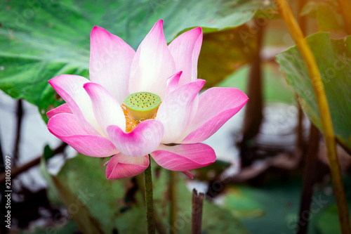 Staande foto Lotusbloem Beautiful pink waterlily or lotus flower in pond.