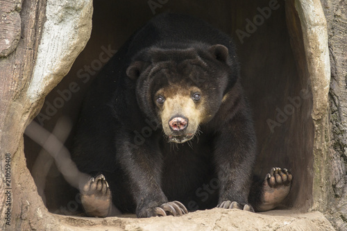 Tuinposter Panter bear on cave