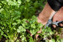 Harvesting The Herb Cilantro B...