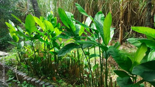 close-up green alpinia galanga plant in garden Canvas Print