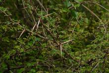 Babul Acacia White Sharp Thorn...