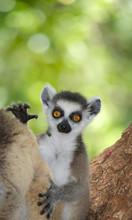 Ringtailed Lemur, Lemur Catta,...