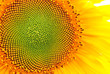 Sunflower blooming, close up petals texture macro detail, organic background