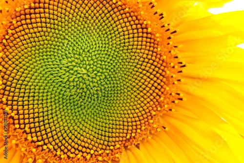 Spoed Foto op Canvas Zonnebloem Sunflower blooming, close up petals texture macro detail, organic background