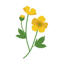 Nature Flower Buttercup