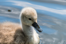 Beautiful Young Baby Swan Is S...