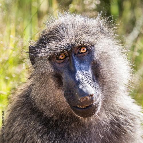 Portrait of Wild Baboon in the Masaai Mara, Kenya, Africa Poster