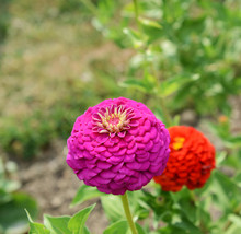 Large Pink Zinnia Flower In Summer