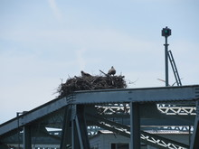 Ospreys In A Nest On Top Of A ...