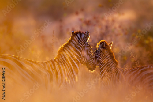 Cadres-photo bureau Zebra Plains zebra in Kruger National park, South Africa