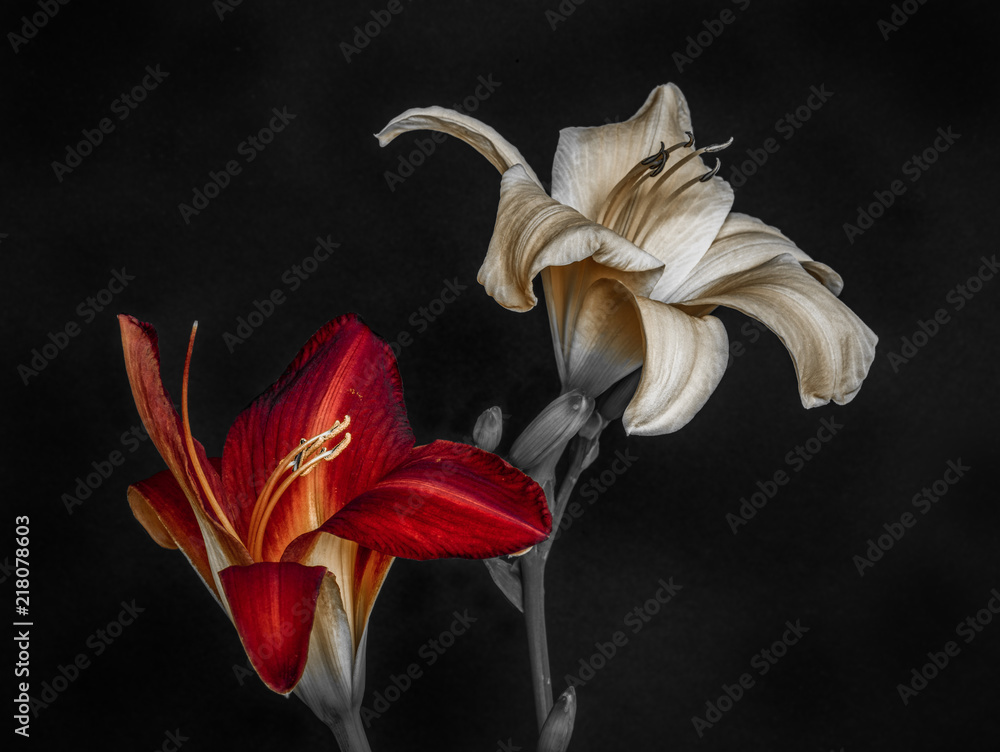 Obraz purple white daylily blossoms,black background,fine art still life color macro portrait of a pair of isolated wide open blooms,detailed texture,vintage painting,symbolic pair couple joint together fototapeta, plakat