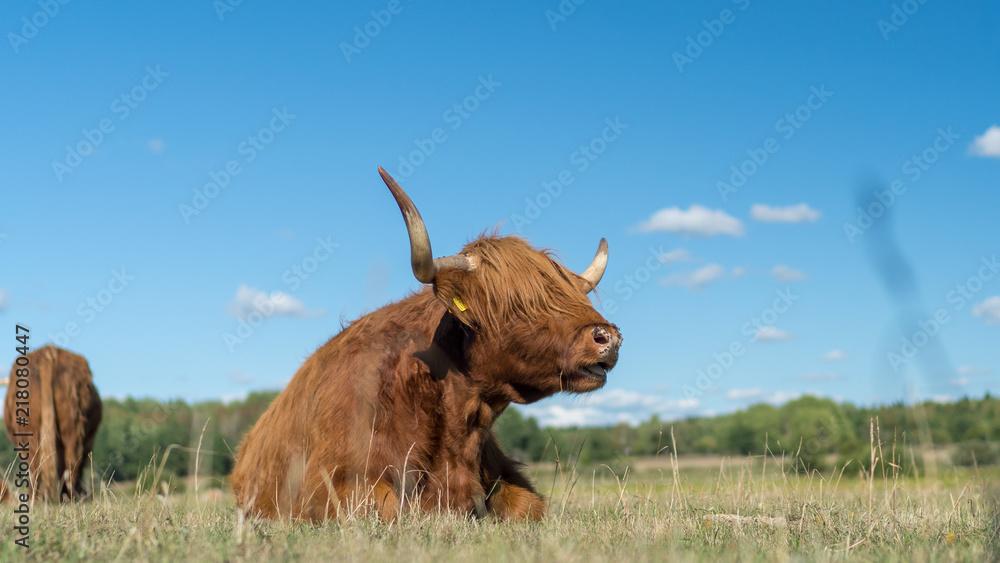 Fototapeta Highland Cattle live stock during summer in Sweden outside of Stockholm Sweden
