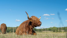Highland Cattle Live Stock Dur...