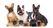 French Bulldog Dog Group isolated