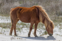 Eating Wild Pony From Assateague Island, Part Of The US National Park Service