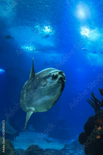 sunfish (moonfish) swimms in blue ocean water
