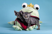 Devon Rex Kitten In Frogs Mouth
