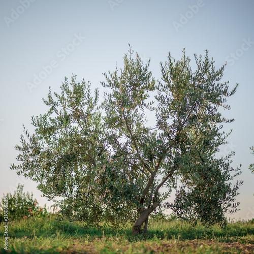 Foto op Plexiglas Olijfboom Olive tree in the olive garden in Mediterranean