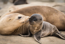 Sea Lion Pup And Mom Giving A Kiss On The Rocky Shore In La Jolla, California