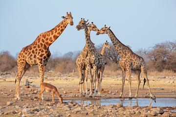 Giraffe herd (Giraffa camelopardalis) at a waterhole, Etosha National Park, Namibia.