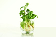 Growing Basil Herb With Root In Water Glass