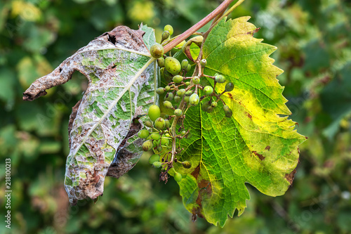 Valokuva  A dangerous disease of grape Mildew - downy mildew ( lat