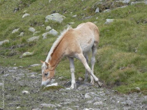 Fotobehang Ree brown foal in the mountains