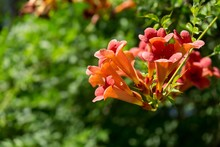 Trumpet Vine Tree Flowers. Slo...