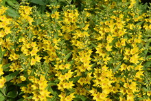 Big Group Of Invasive Flowerin...