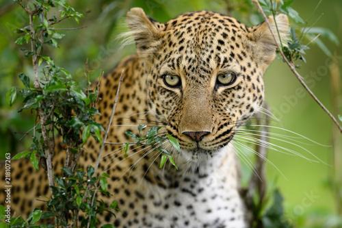Tuinposter Luipaard Leopard (Panthera pardus) hiding in bush, Masai Mara, Kenya, Africa