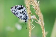 White Butterfly On Leaf. Slova...