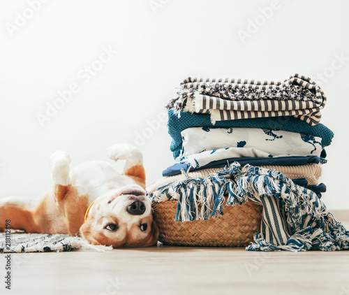 Fényképezés  Beagle dog lies on floor near the basket with laundry