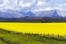 Agriculture Canola Alberta