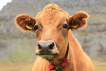 Portrait Of The Icelandic Cow